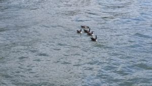 Ducks on river below the Steel Bridge