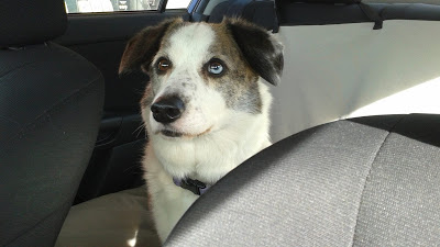 Dagger the Corgi looking cute in a car.